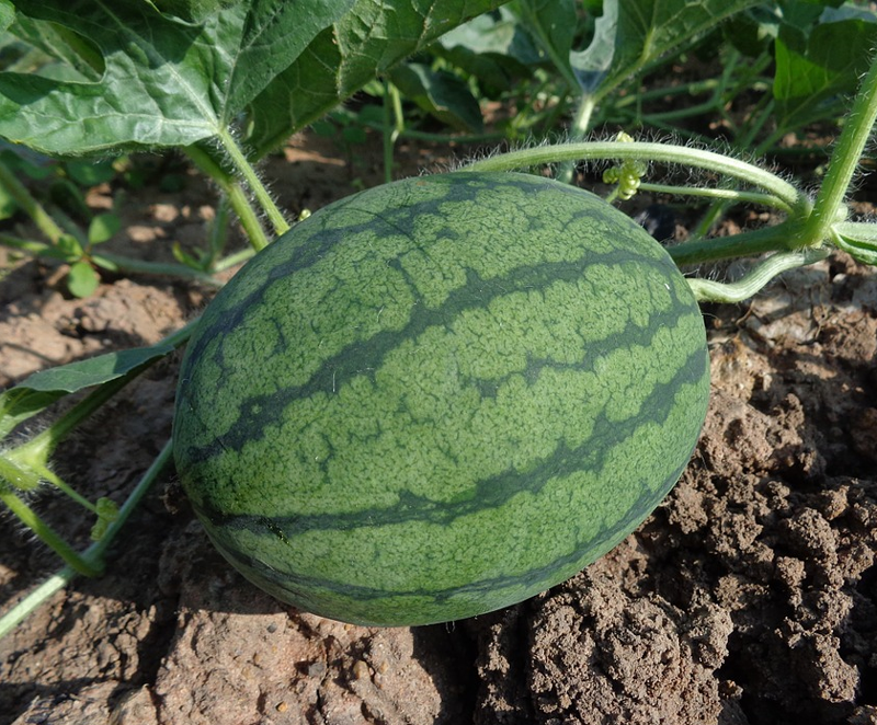 VegNews.Watermelon2
