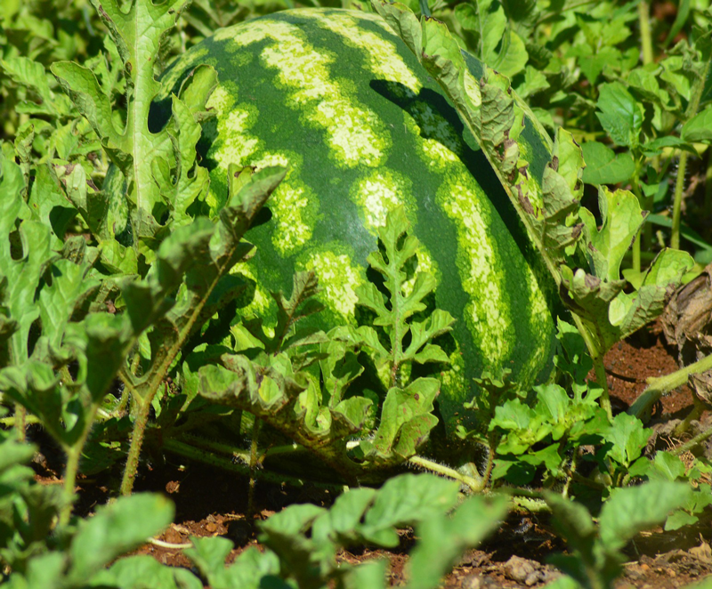VegNews.Watermelon6