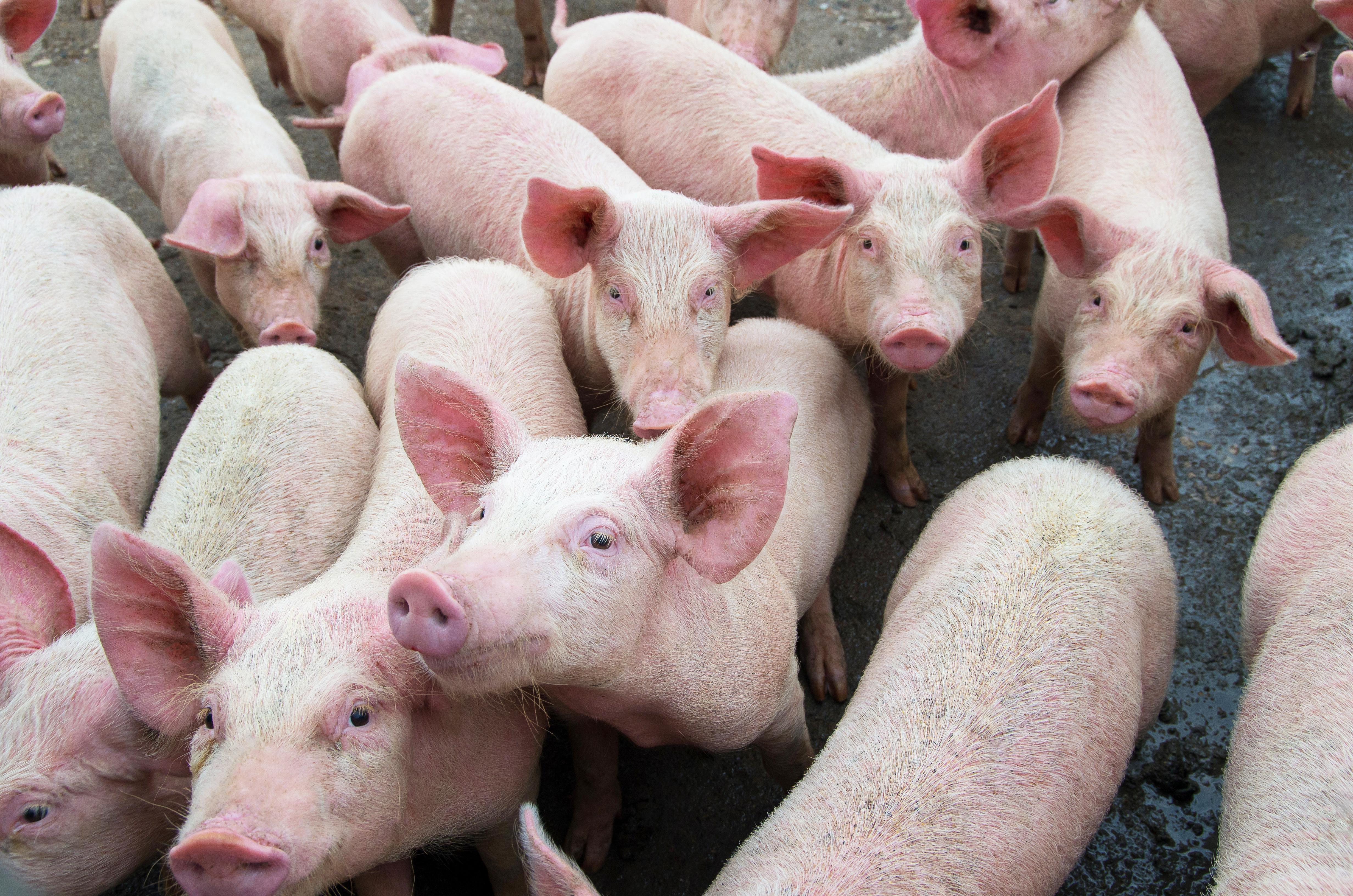 VegNews.Piglets2