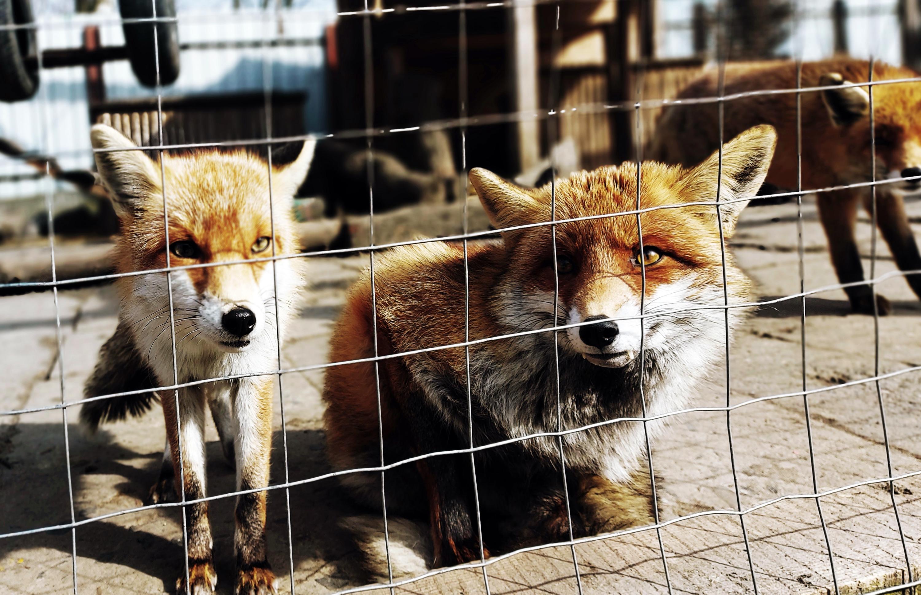 VegNews.FoxFurFarm