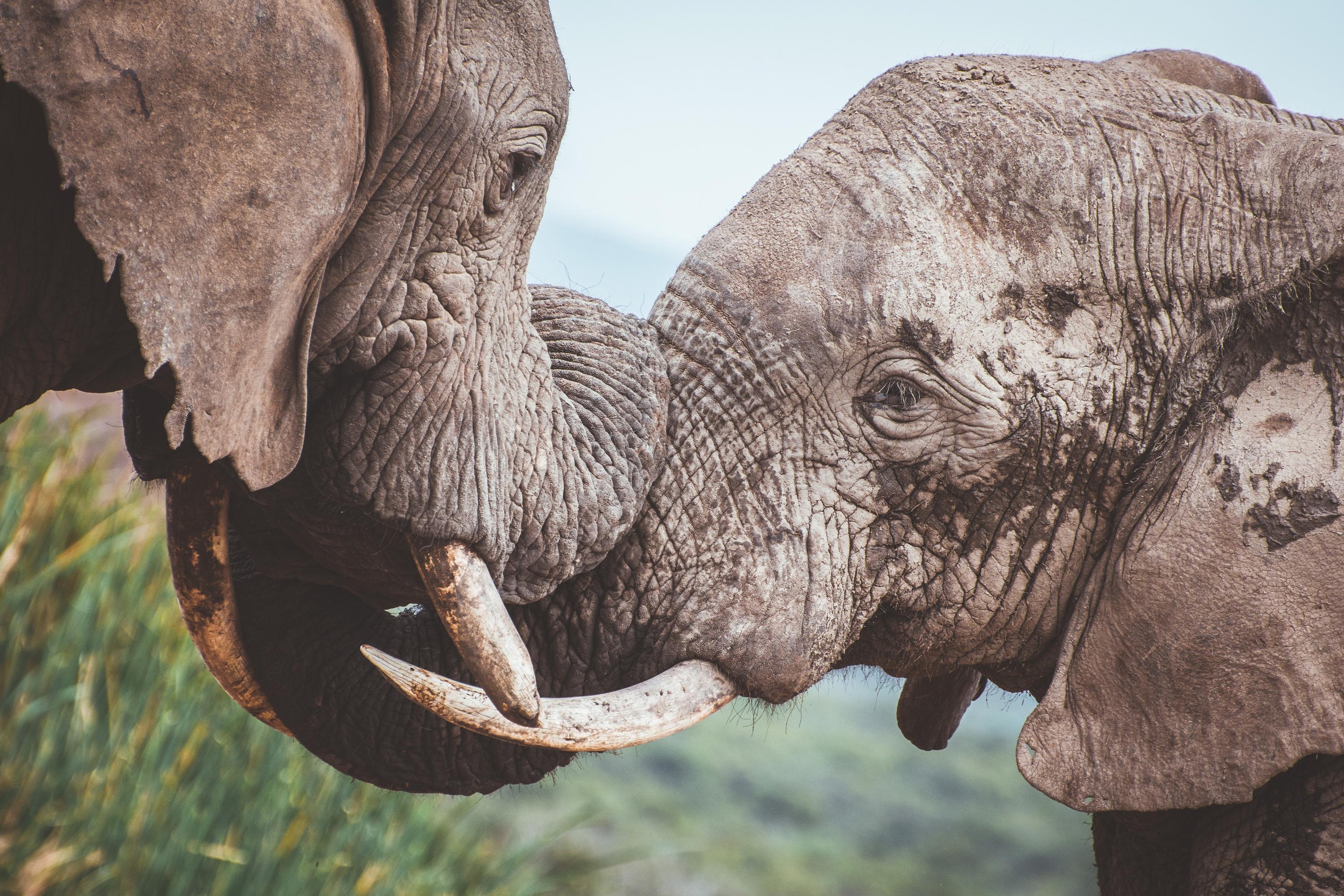 VegNews.ElephantsGoogle
