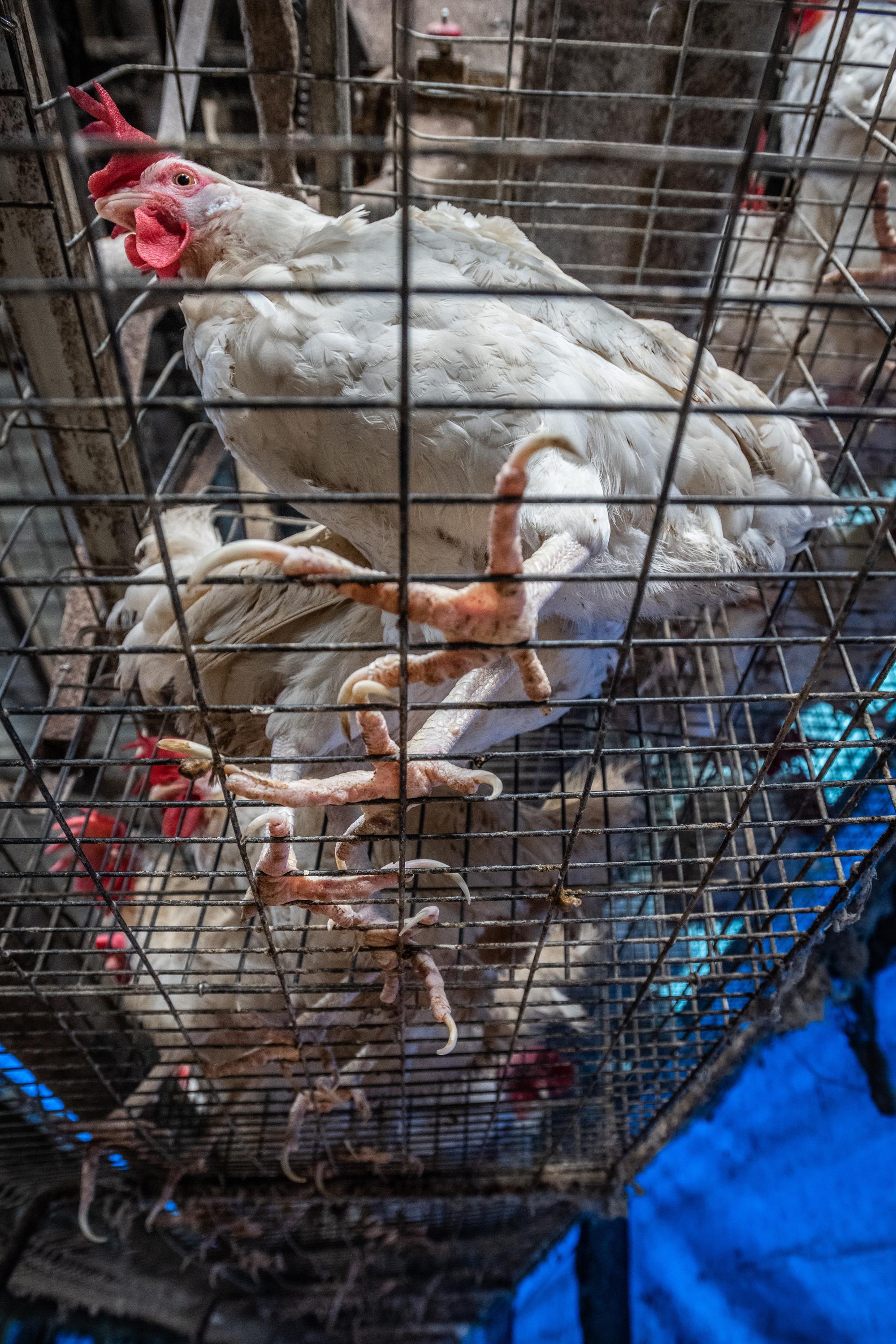VegNews.ChickensCageJoanneMcArthur