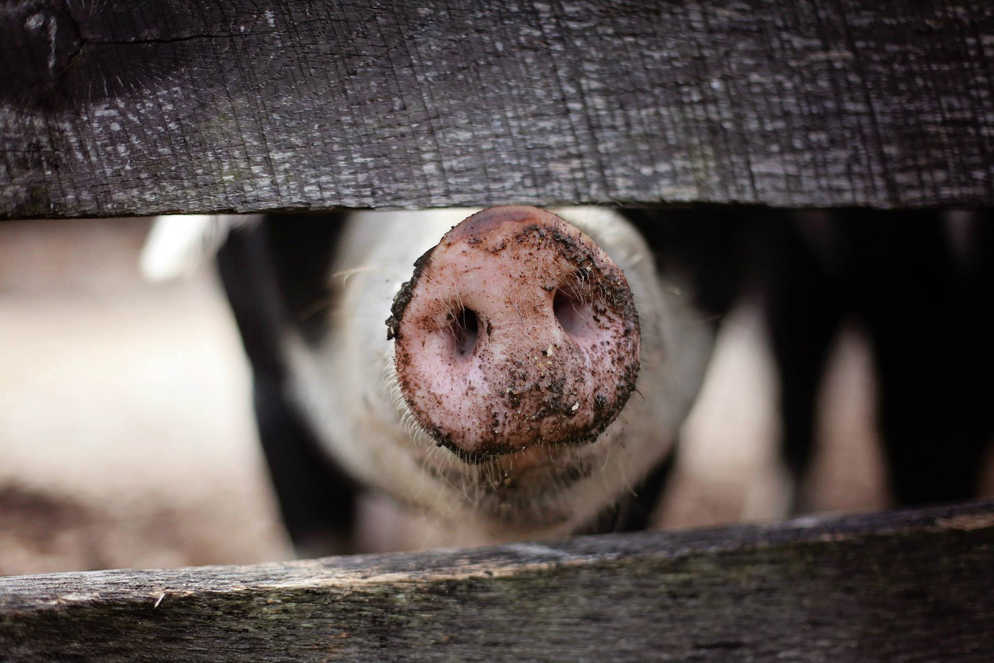 VegNews.PigSnout