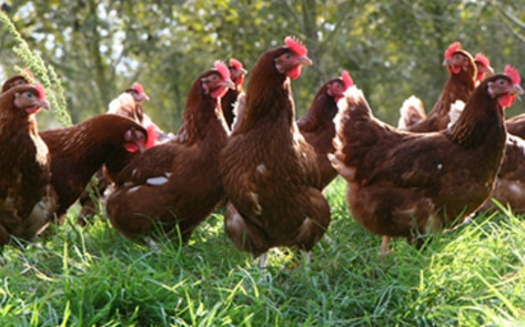 3,000 Hens Rescued by Animal-Welfare Organization