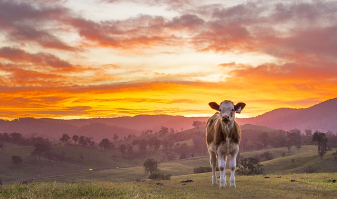 VegNews.SunsetCow