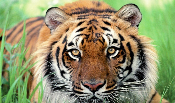 Tinder Urges Users to Ditch Tiger Selfies