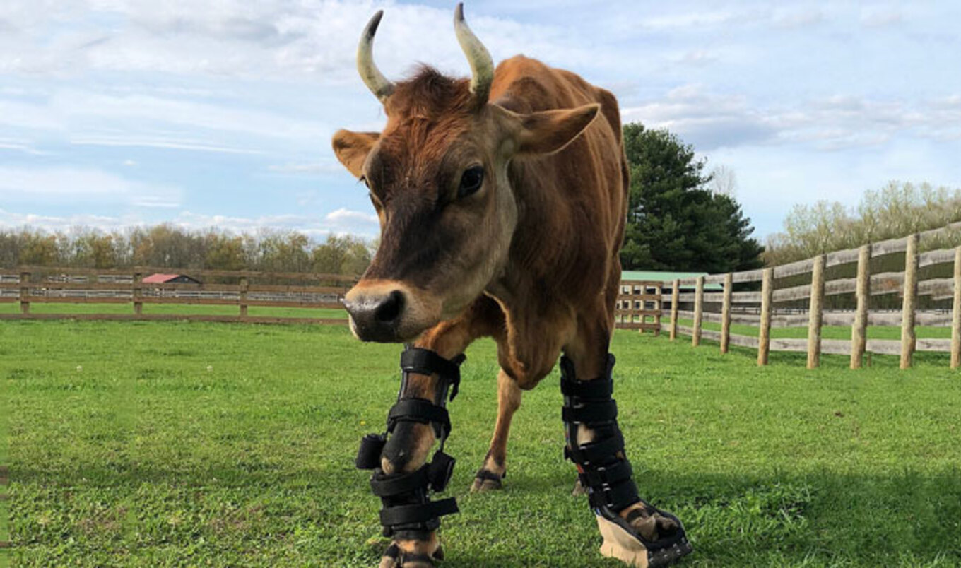 Rescued Cow Receives State-of-the-Art Prosthetic Brace