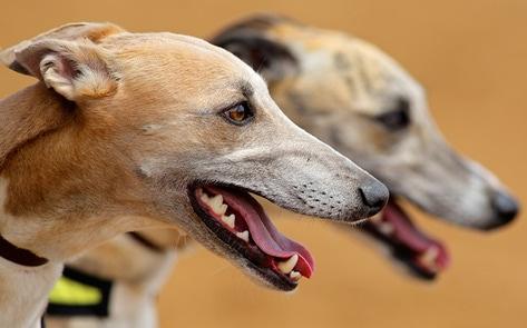 VegNews.Greyhounds