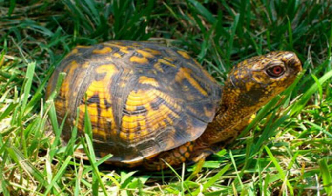 maryland_box_turtle-01