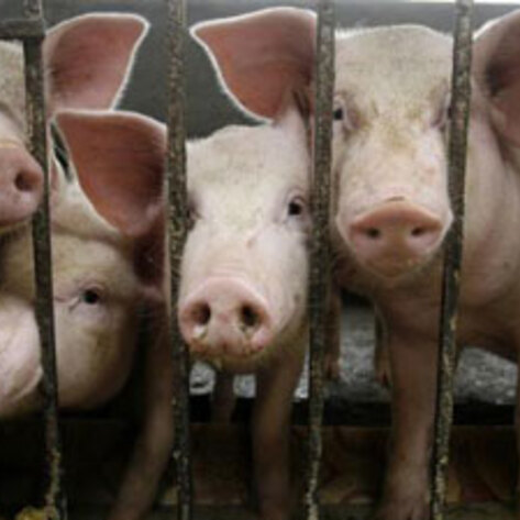 Arby's Bans Gestation Crates from Supply Chain