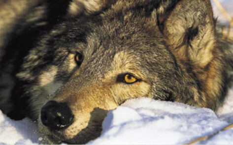 Singer Rihanna Makes Donation To Wolves Sanctuary