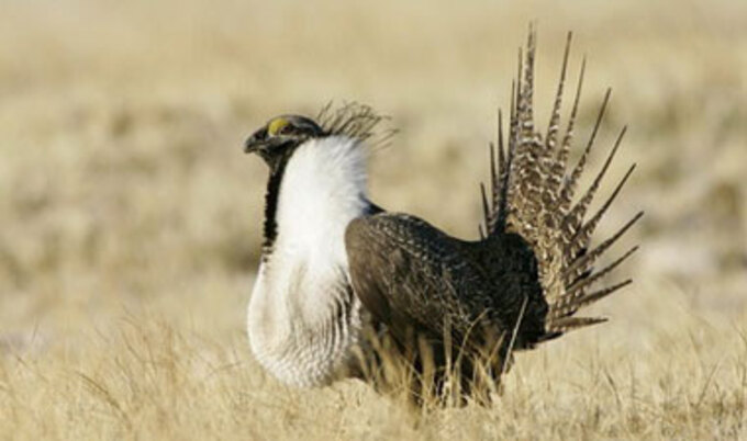 VND.SageGrouse
