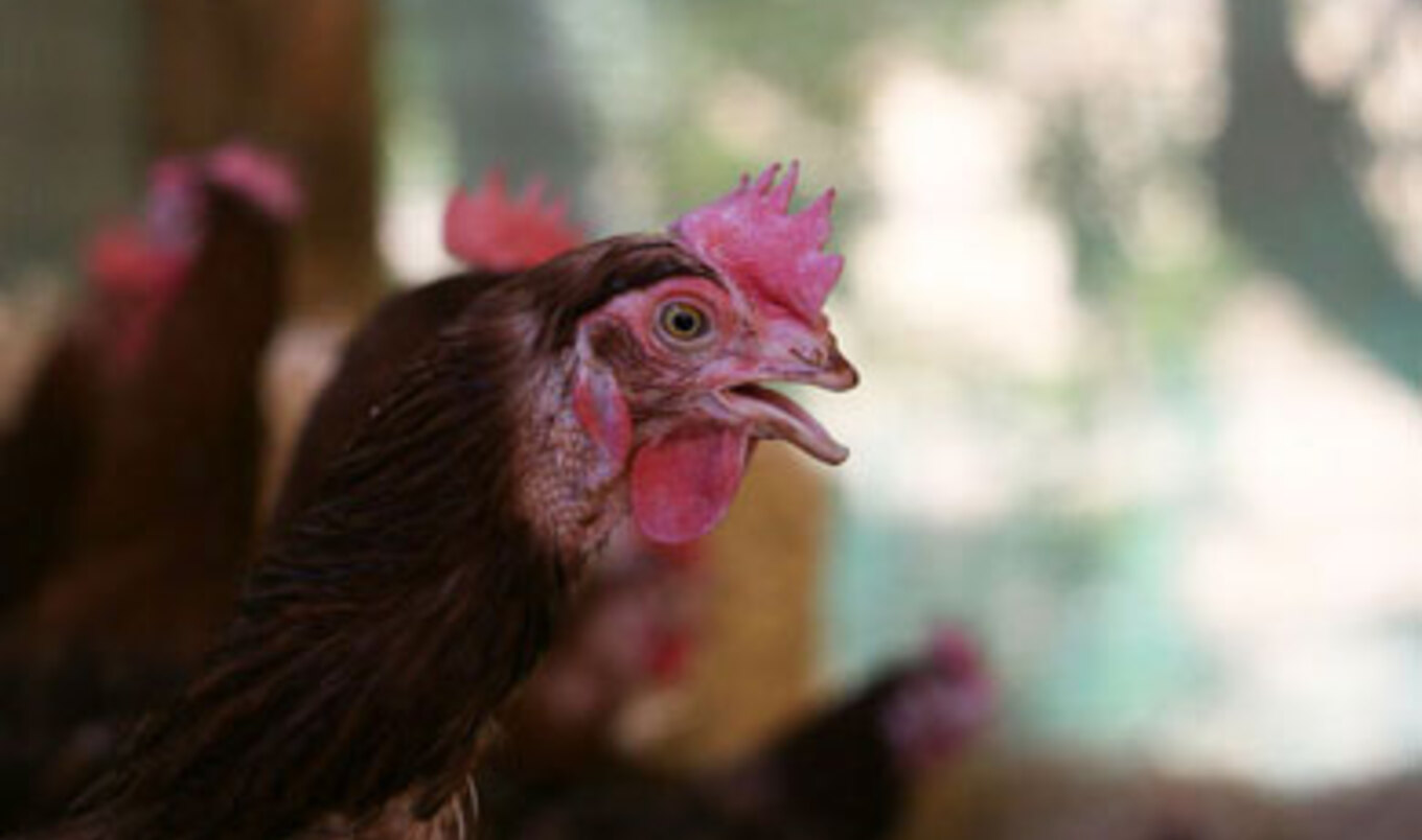 Northern California Animal Sanctuary Rescues 2,000 Hens