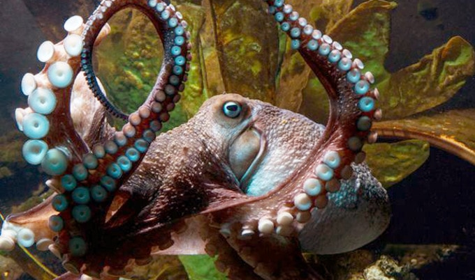 VegNews.Octopus