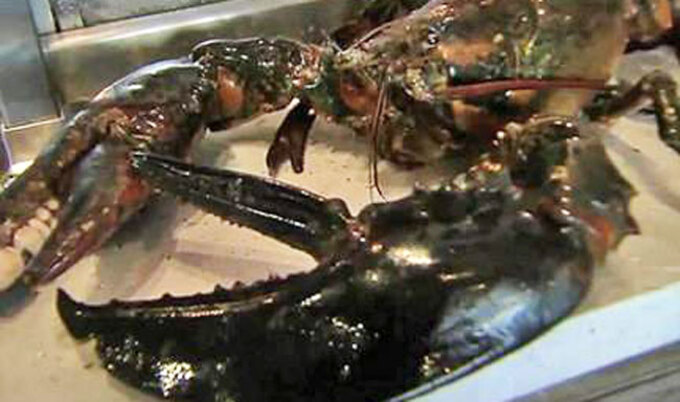 Lobster Rescued from Restaurant Dies En Route to Aquarium