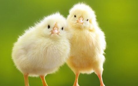 VegNews.Chicks
