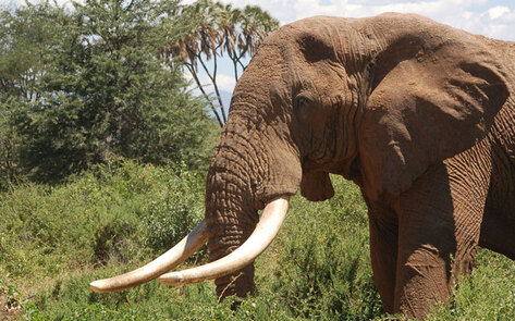 VegNews.ElephantTusks