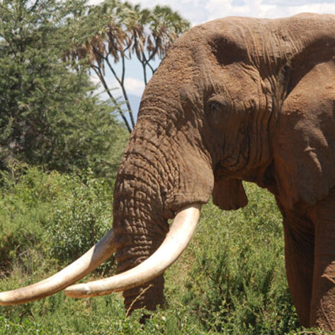 France Bans Trade in Ivory Tusks and Rhino Horns