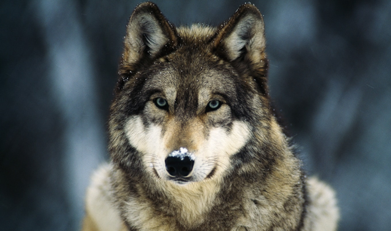 Washington State to Kill Wolf Pack to Protect Profits