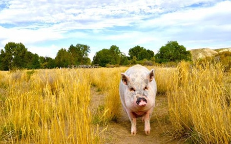 Ziggy the Traveling Pig Inspires New Animal Sanctuary
