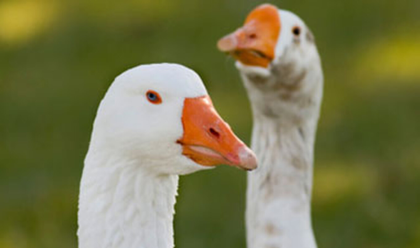 California Appeals Ruling to Overturn Foie Gras Ban