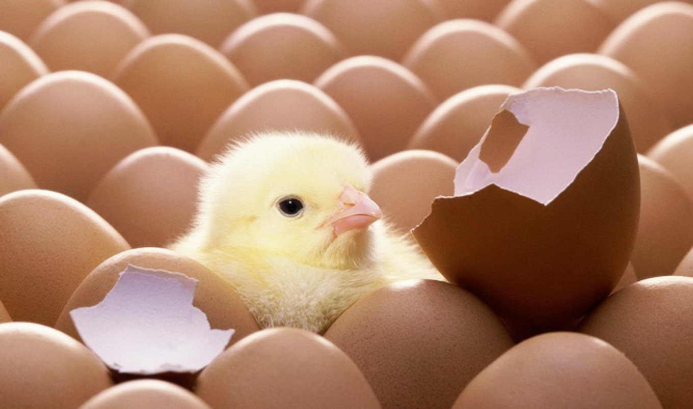 Egg Industry to End Chick Culling by 2020