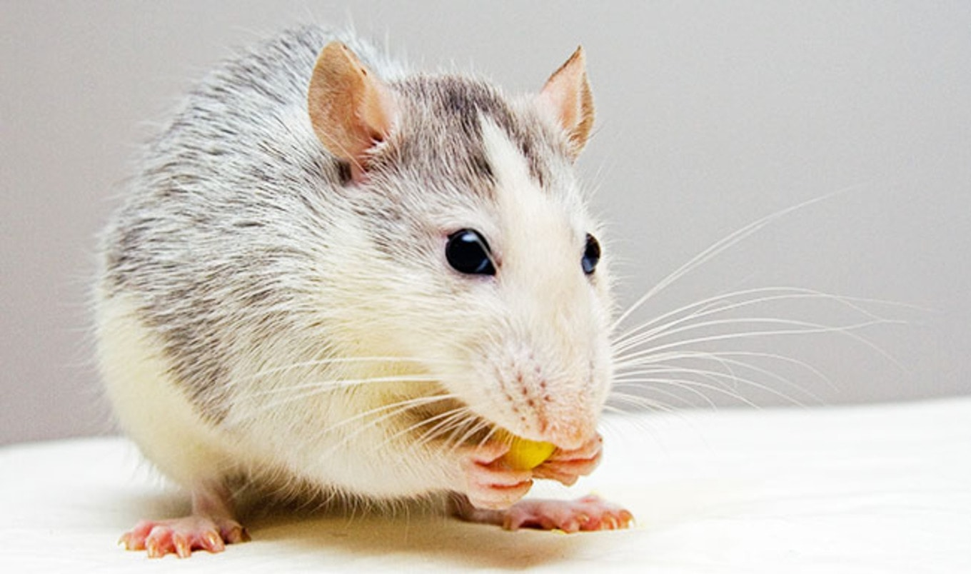 Scientists Discover How Rats Express Happiness