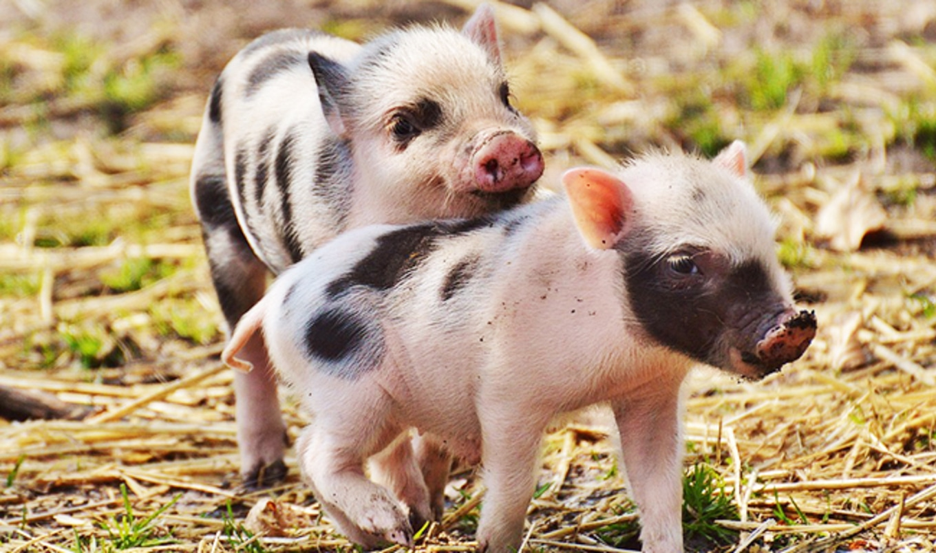 Study Shows Pigs Can Be Optimists and Pessimists