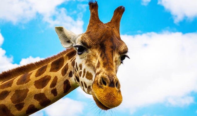 Giraffes Placed on Extinction Watchlist