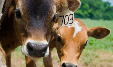 Livestock Methane Emissions Are Dangerously High