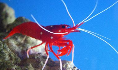Restaurant Removes Live Shrimp