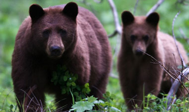 South Carolina Eliminates Cruel Bear Baying Sport